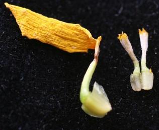 הזירעונים של פרחי ההיקף הלשוניים בעלי כנף; הזירעונים של פרחי המרכז פחוסים בעלי 4 מקצועות.