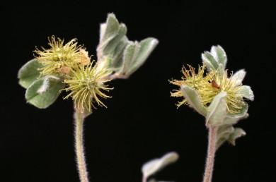 צמחים של הגלילות הים-תיכוניות, מלבינים, מכוסים בצפיפות בשערות מפושקות.
