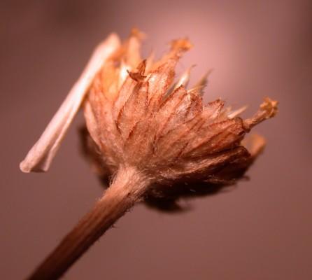 קחוון רב-קרניים Anthemis cornucopiae Boiss.