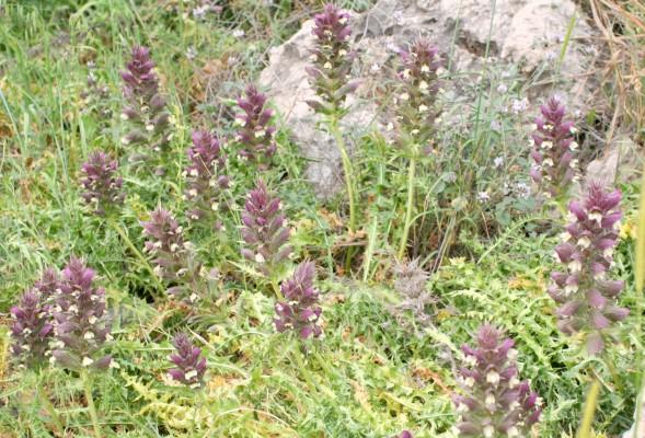 קוציץ סורי Acanthus syriacus Boiss.