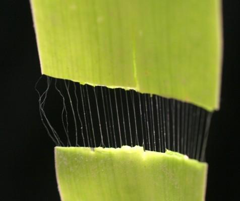 בן-חצב יקינתוני Scilla hyacinthoides L.