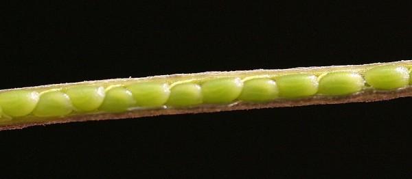 תודרה סייגית Sisymbrium irio L.