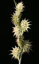 הפרי מכיל זרע אחד, הכרבולת בעלת קוצים משולשים תמימים המסתיימים בחוד יחיד.
