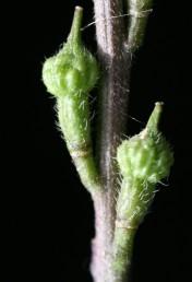 הפרי קירח או שעיר ומכיל שני פרקים שאינם נפתחים: בתחתון 4-1 זרעים; העליון חד-זרעי דמוי כדור מקומט ומגובשש.