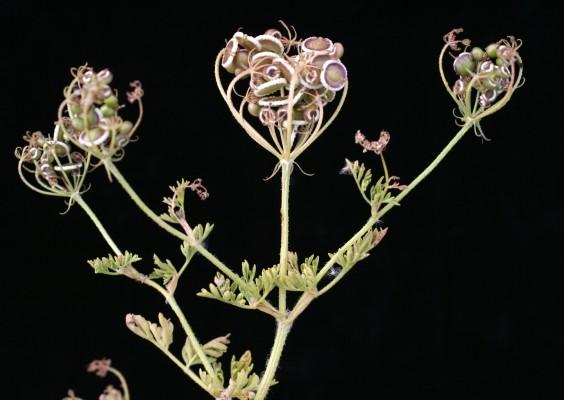 דרכמונית מצרית Tordylium aegyptiacum (L.) Lam.