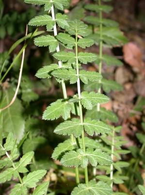 סיסון קיפח Sison exaltatum Boiss.