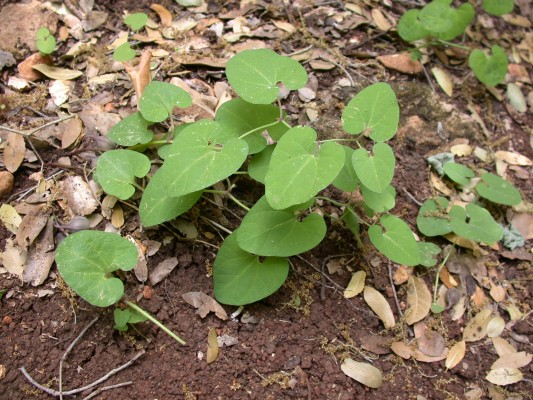 ספלול הגליל Aristolochia billardieri Jaub. & Spach