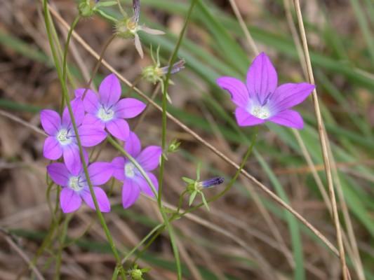 פעמונית צידונית Campanula sidoniensis Boiss. & Blanche