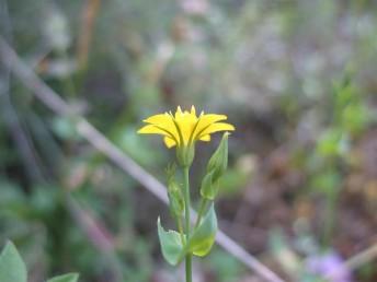 צמחים חד-שנתיים. העלים חרוזים. הגביע בעל 12-6 אונות דמויות מרצע. הפרחים צהובי-כותרת; אוגנה מחולק ל-12-6 אונות.