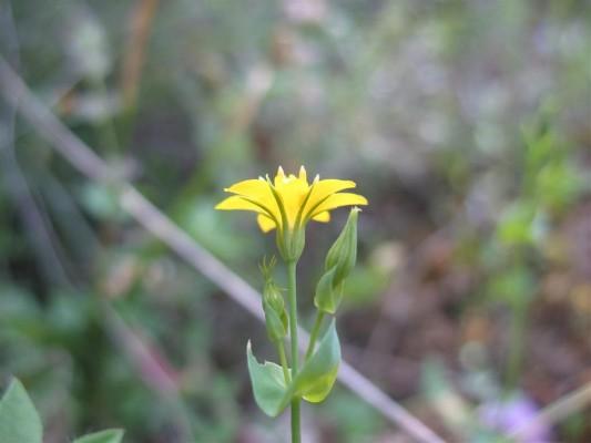 חוורית חרוזה Blackstonia perfoliata (L.) Huds.