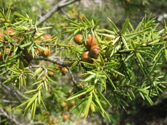 עצים קטנים או שיחים הגדלים בגליל העליון ליד בית ג'ן. העלים מחטניים, דוקרניים, בעלי שני פסים לבנים. צבע האיצטרובלים הנקביים חום-אדמדם.