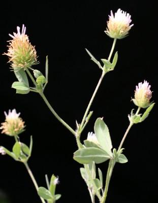 תלתן חדוד Trifolium echinatum M.Bieb.