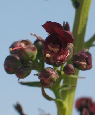 לוענית יריחו Scrophularia hierochuntina Boiss.