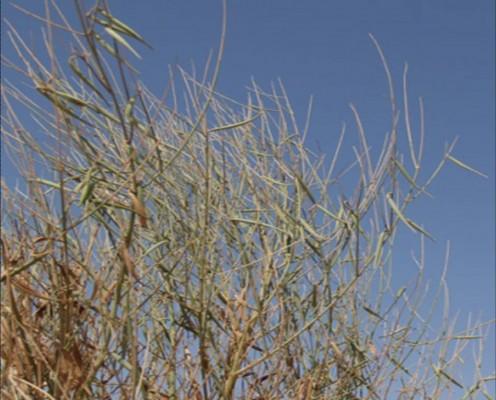 Leptadenia pyrotechnica (Forssk.) Decne.