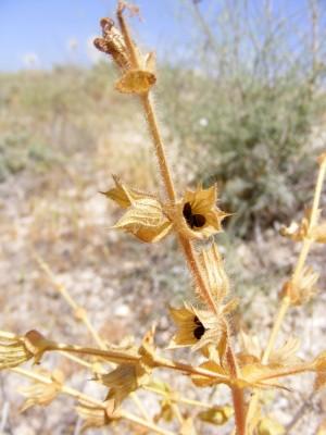 מרווה שסועה Salvia ceratophylla L.