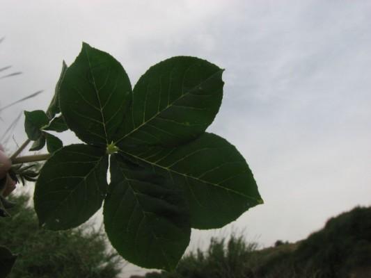 באשן מחומש Cleome gynandra L.