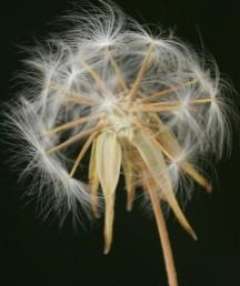 שתי צורות של זירעונים. ההיקפיים מכונפים, עטופים בעלי המעטפת ונותרים על צמח האם למשך זמן רב.