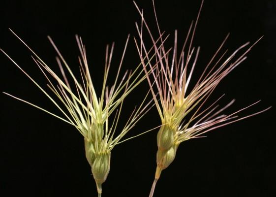 בן-חיטה ביצני Aegilops geniculata Roth