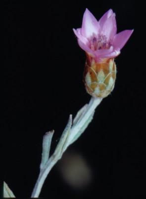 יבשוש גלילני Xeranthemum cylindraceum Sm.
