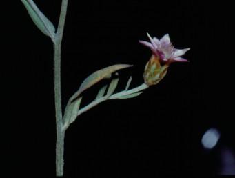 צמחים חד-שנתיים בלתי קוצניים, שעירים, מלבינים, העלים תמימים. הקרקפות יחידות גליליות.