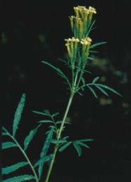 צמחים חד-שנתיים קירחים בעלי ריח חזק. העלים נגדיים או מסורגים גזורים-מנוצים.