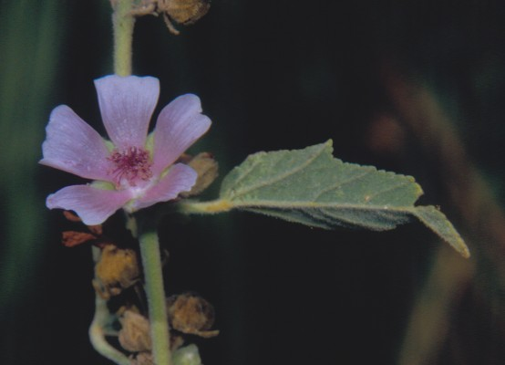 נטופית רפואית Althaea officinalis L.