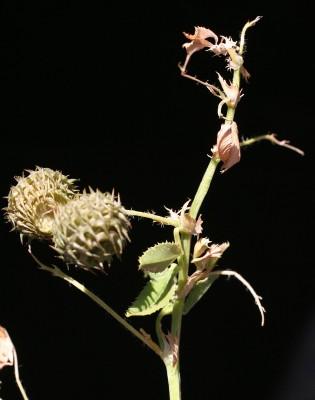 Medicago granadensis Willd.
