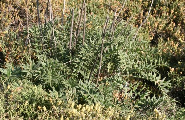 Cirsium phyllocephalum Boiss. & Blanche