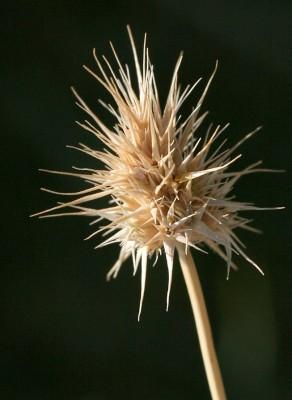 קיפודית הקרקפת Echinaria capitata (L.) Desf.