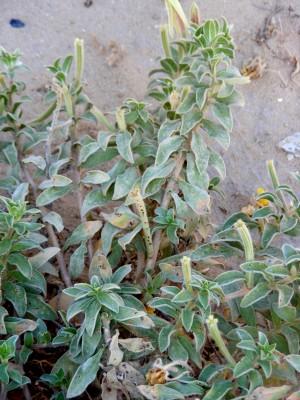 נר-הלילה החופי Oenothera drummondii Hooker