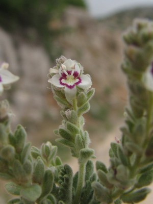 ורוניקה אפרפרה Veronica polifolia Benth.