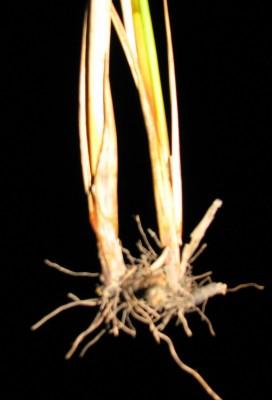 סמר מרצעני Juncus subulatus Forssk.