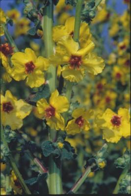 בוצין הגליל Verbascum galilaeum Boiss.