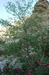 עצים נדירים של נאות מדבר בבקעת ים-המלח.