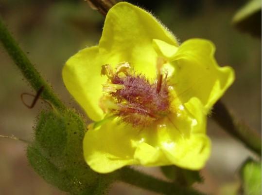בוצין טריפולי Verbascum tripolitanum Boiss.