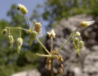 ההלקט ישר בראשו, עוקצי הפרחים ארוכים מהגביע. בעת ההבשלה הגביעים משולשלים כלפי מטה.