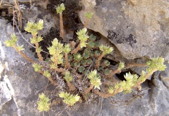 צורית יוונית Sedum laconicum Boiss. & Heldr.