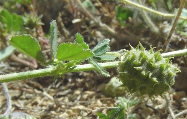 אספסת אשונה Medicago rigidula (L.) All.