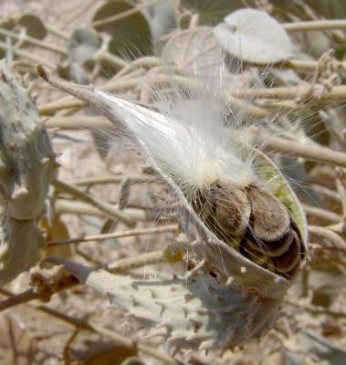 דמיה לבידה Pergularia tomentosa L.