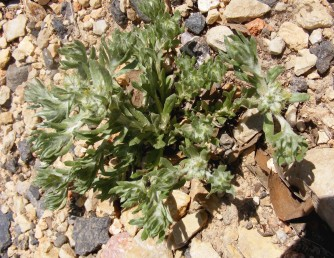 צמחים מסועפים בדרך כלל מבסיסם. הענפים שרועים, אורכם מגיע ל-10 ס