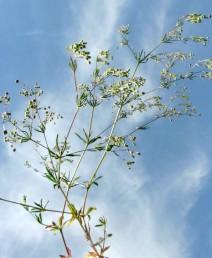 התפרחת מכבד בעל ענפים מפושקים; עוקצי הפרחים נימיים וארוכים, יוצרים זווית רחבה זה עם זה.