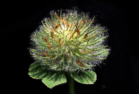 תלתן הכפתורים Trifolium cherleri L.