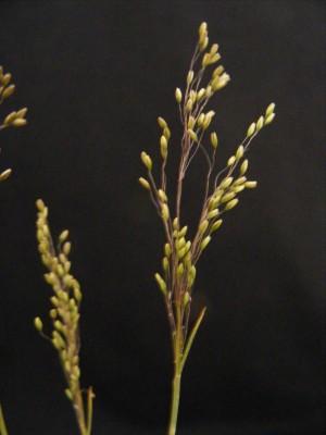 רפרפון עדין Zingeria biebersteiniana (Claus) P. Smirn.