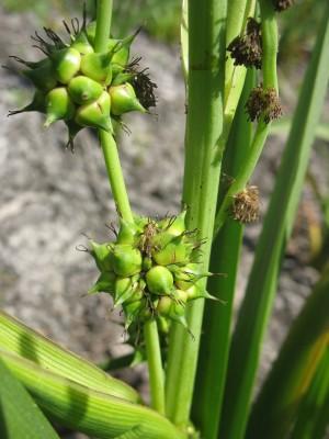 כדורן ענף Sparganium erectum L.