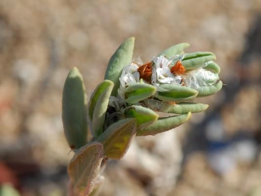 ארכובית החוף Polygonum maritimum L.