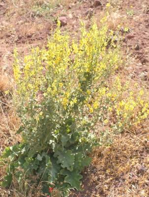 בוצין לקוי Verbascum gaillardotii Boiss.