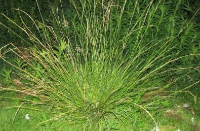 עשב רב-שנתי. גדל בקרקעות כבדות.  העלים קירחים אינם ערוכים בשני טורים.