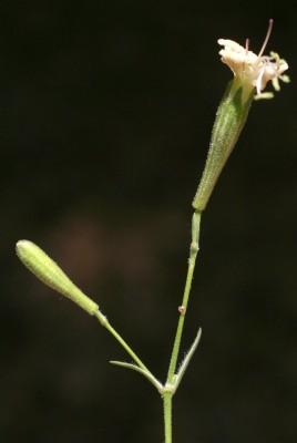 ציפורנית איטלקית Silene italica (L.) Pers.