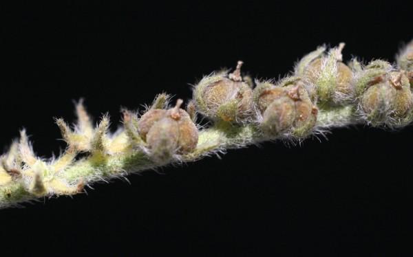 עוקץ-עקרב אפור Heliotropium bovei Boiss.