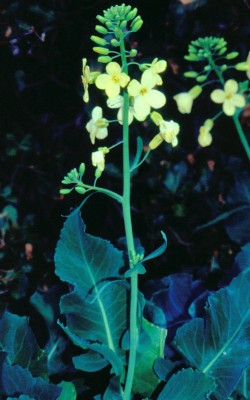 כרוב כרתי Brassica cretica Lam.